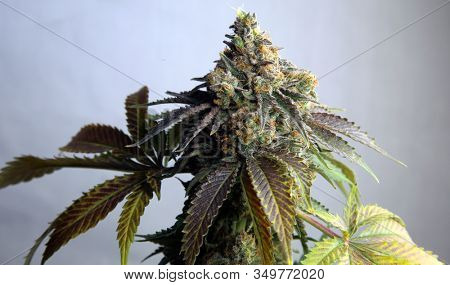 Marijuana. Close up of Female Flowering Marijuana Plant. Cannabis Indica. Cannabis Sativa. Pot Plants are now legal to grow and own in many of the United States of America. Grow Your Own.