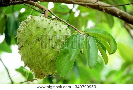 Soursop Fruit - Fresh Soursop Fruit On A Tree Ready For Harvest, Ripe Soursop Fruit