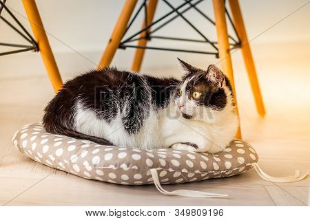 A Home Cat Is Resting On A Pillow. Pets.  Sunny Light