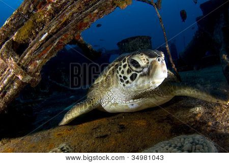 Turtle On A Wreck