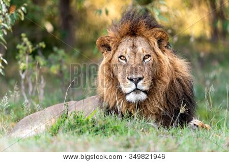Big Lion Wild Animal In The Nature Habitat. Indian Wildlife. Lions Leader. Lion King.