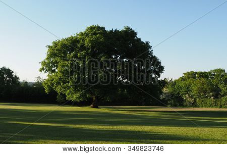 A Single Large Oak Tree In The Evening Sun In Parkland