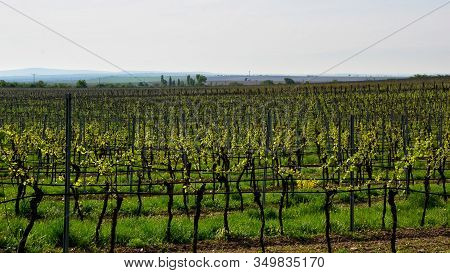 Vineyard Landscape In Spring At South Moravian