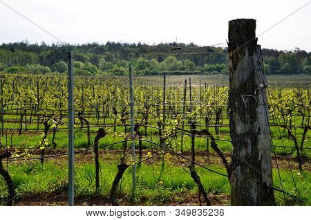 Vineyard Detail In Spring At South Moravian