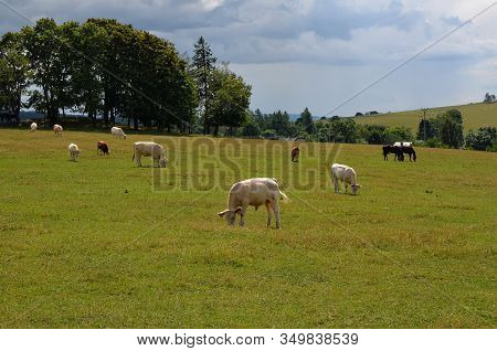 Cow And Calf On Pasture Feeding Green Grass