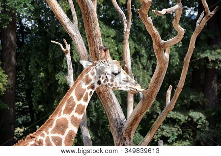 Giraffe Licking Tree Detail Photography In Nature