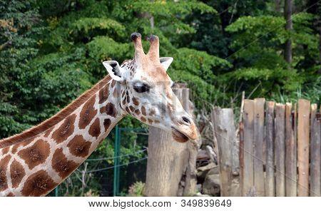 Giraffe Head Feeding Detail Photography In Nature