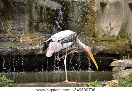 Drinking Painted Stork Big Bird Detail Photography Near Waterfall