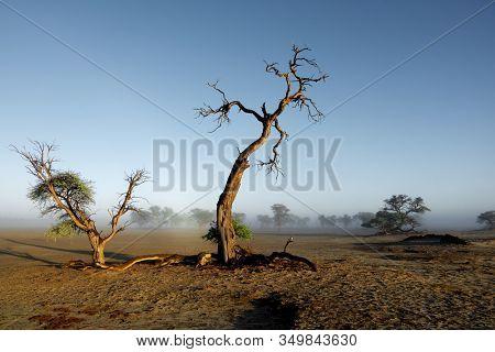 Landscape with trees in mist, Kalahari desert, South Africa