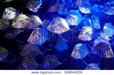 A Large School Of Lookdown Fish, A Game Fish Of The Family Carangidae