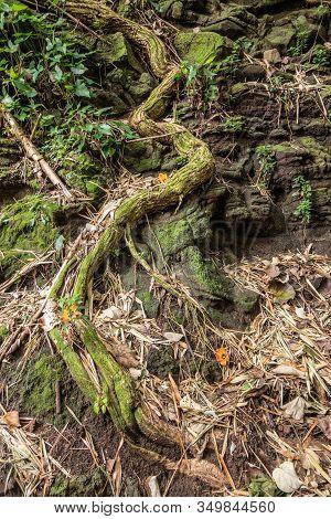 Kamokila Village, Kauai, Hawaii, Usa. - January 16, 2020: Green Tree Root Crawls As A Snake Upon Bla