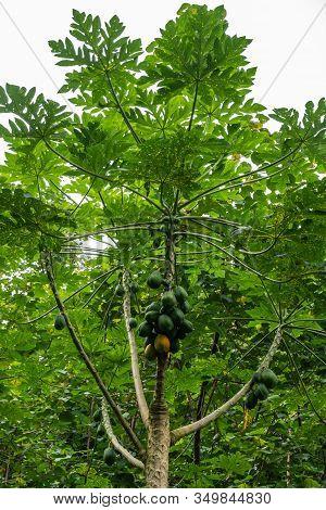 Kamokila Village, Kauai, Hawaii, Usa. - January 16, 2020: Green Papaya Tree Alone In Green Forest Un
