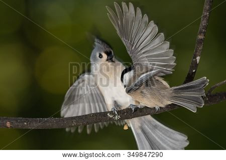 Carolina Chickadee Confronting A Startled Tufted Titmouse
