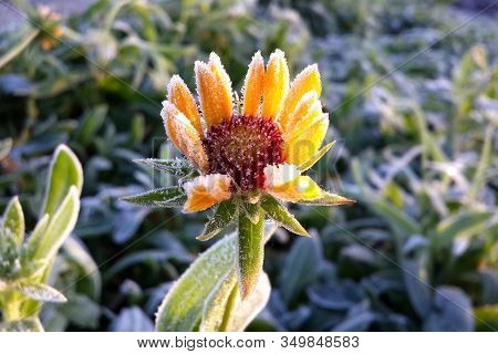 Gaillardia Yellow Flower In The Morning Frost. Plant In Autumn Close-up