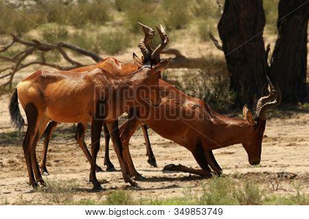 Group Of Red Hartebeest, Alcelaphus Buselaphus Caama Or Alcelaphus Caama Drinking From Waterhole In