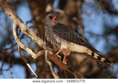 The Southern Pale Chanting Goshawk (melierax Canorus) Sitting On The Branch And Watching Around. The