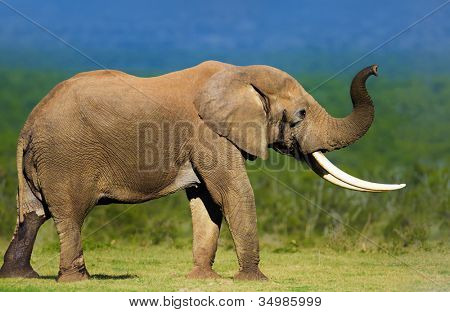 Elephant with large tusks smelling the air - Addo National Park poster