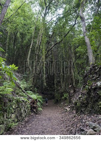 Man Hiker At Path At Mysterious Laurel Forest Laurisilva, Lush Subtropical Rainforest At Hiking Trai