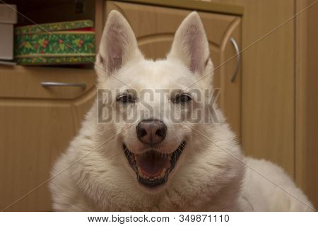 The White Kind Dog Of The West Siberian Husky Laika Is Fooling Around, Squinting, Smiling And Having