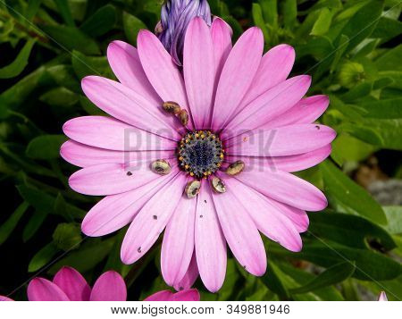 Purple African Daisy (osteospermum Ecklonis) With A Green Background. Little Snails Are Sitting On T