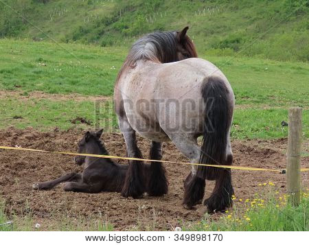 Black Foal Waking From Slumber, Roan Draft Horse Mare Standing Next To It In A Green Pasture On Summ
