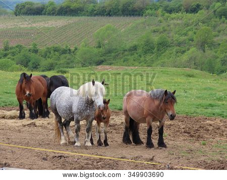 Horse Herd - Black Stallion And His Mares With Foals, Grey Dapple, Bay, Roan, In Mountain Pasture Wi
