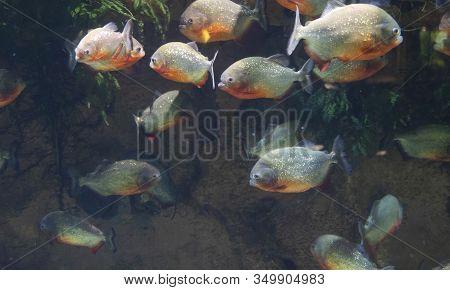 Herd Of Piranhas Under Water With Algae