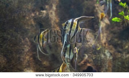 A Flock Of Angelfish Swims Near The Underwater Cliffs