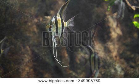 Angelfish Swims Near The Underwater Cliffs A Brown Background