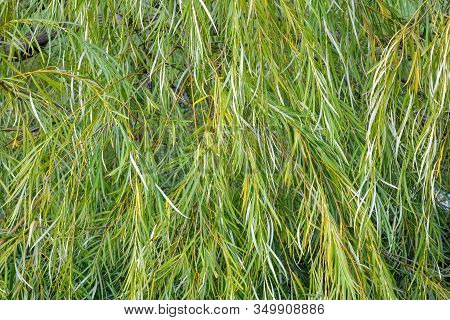 Weeping Willow Tree Foliage Background. Weeping Willow Branches With Green Leaves. Close Up View Of