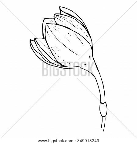 Butoh Of A White Flower Eucharis (amazonian Lily), Black Outline On A White Background Isolated, Sto