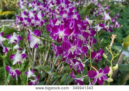 Beautiful Purple Orchids Flower On A Branch. Flowering Tropical Plant Nature Background