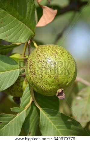 Close Up Green Guava In Fruit Garden