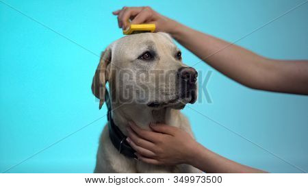 Caring Owner Combing Labrador Dog Fur, Grooming Equipment Cleaning Slicker Brush
