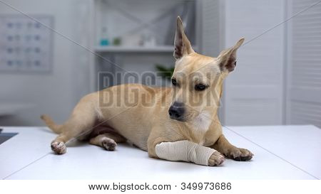 Injured Dog With Wrapped Paw Lying On Animal Clinic Table, First Aid For Pets