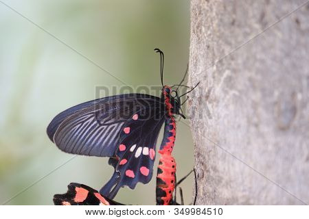 Close- Up Of A Black Wings Male Butterfly Insect And Female Butterfly Meeting On Tree Stem In Day Su