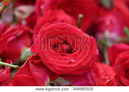 Close Up Of Brilliant Red Rose Flower On Rose Basket In Street Roses Flowers Market In India, Pink R