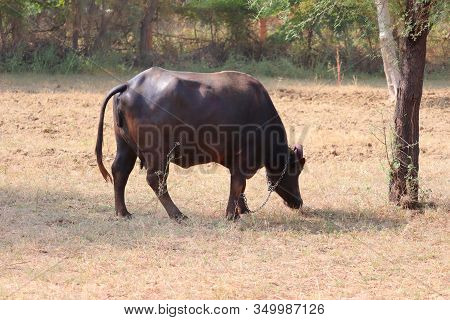 Close Up Of A Domestic Black Female Buffalo Grazing On Dry Field In Day Meadow, Outdoors Pet Animals