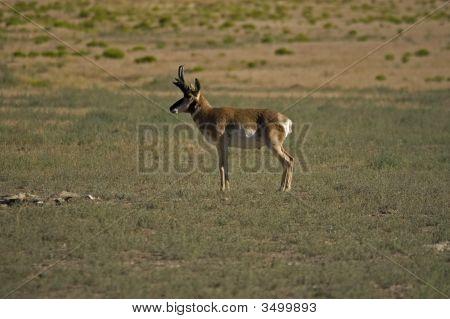 Antelope Ponghorn