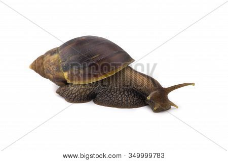 Big Terrestrial Snail Isolated On White Background