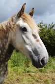Irish Draught dabble grey horse standing in a field poster
