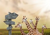 Group of giraffes lost in prairies, concept of travelling poster
