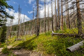 The Rockies. Regrowing Forest After Extensive Fire Damage Hiking Trail At Helen Lake, Banff National