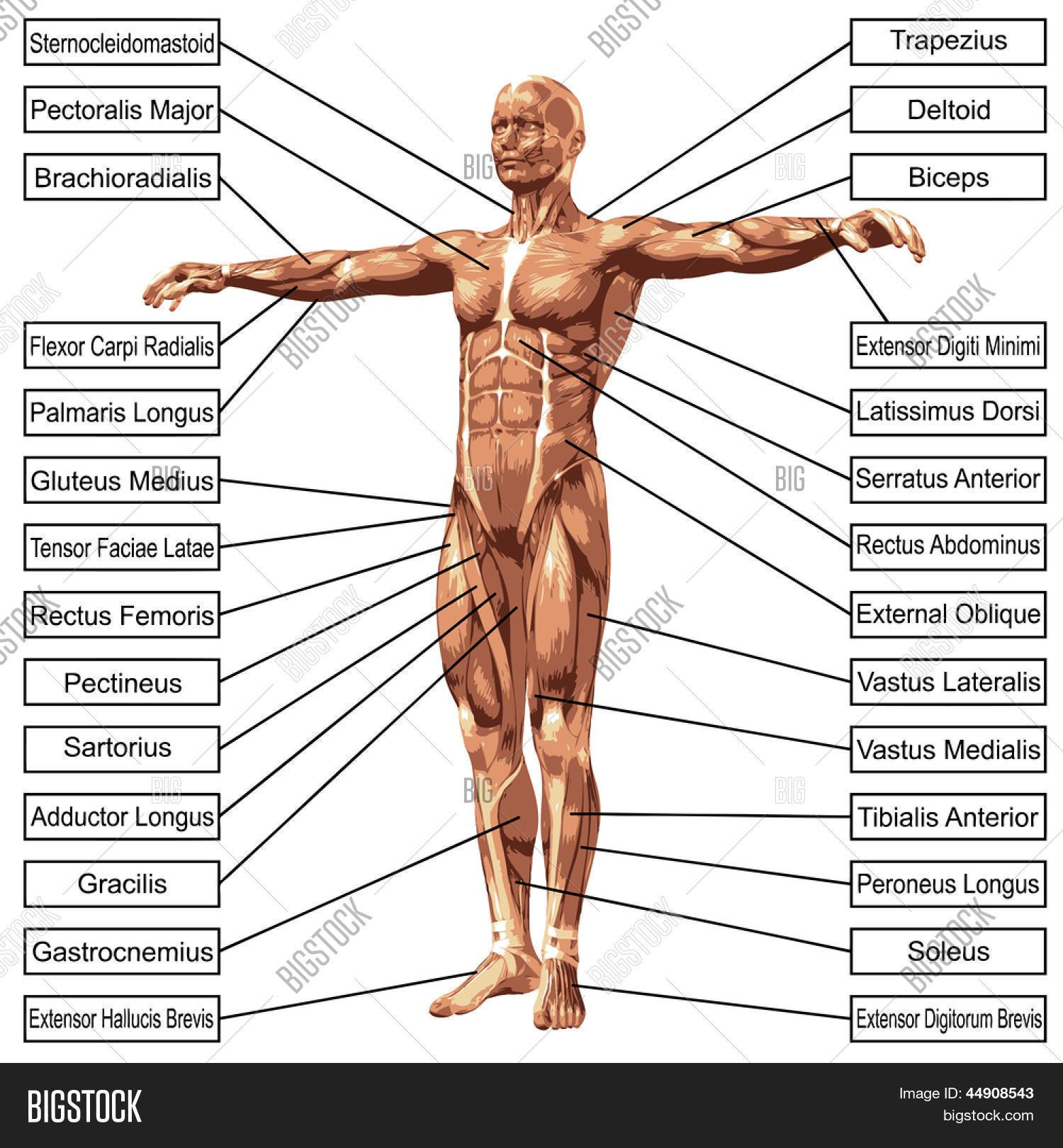 Imagen y foto 3D Anatomí Masculina O Humano, Un | Bigstock