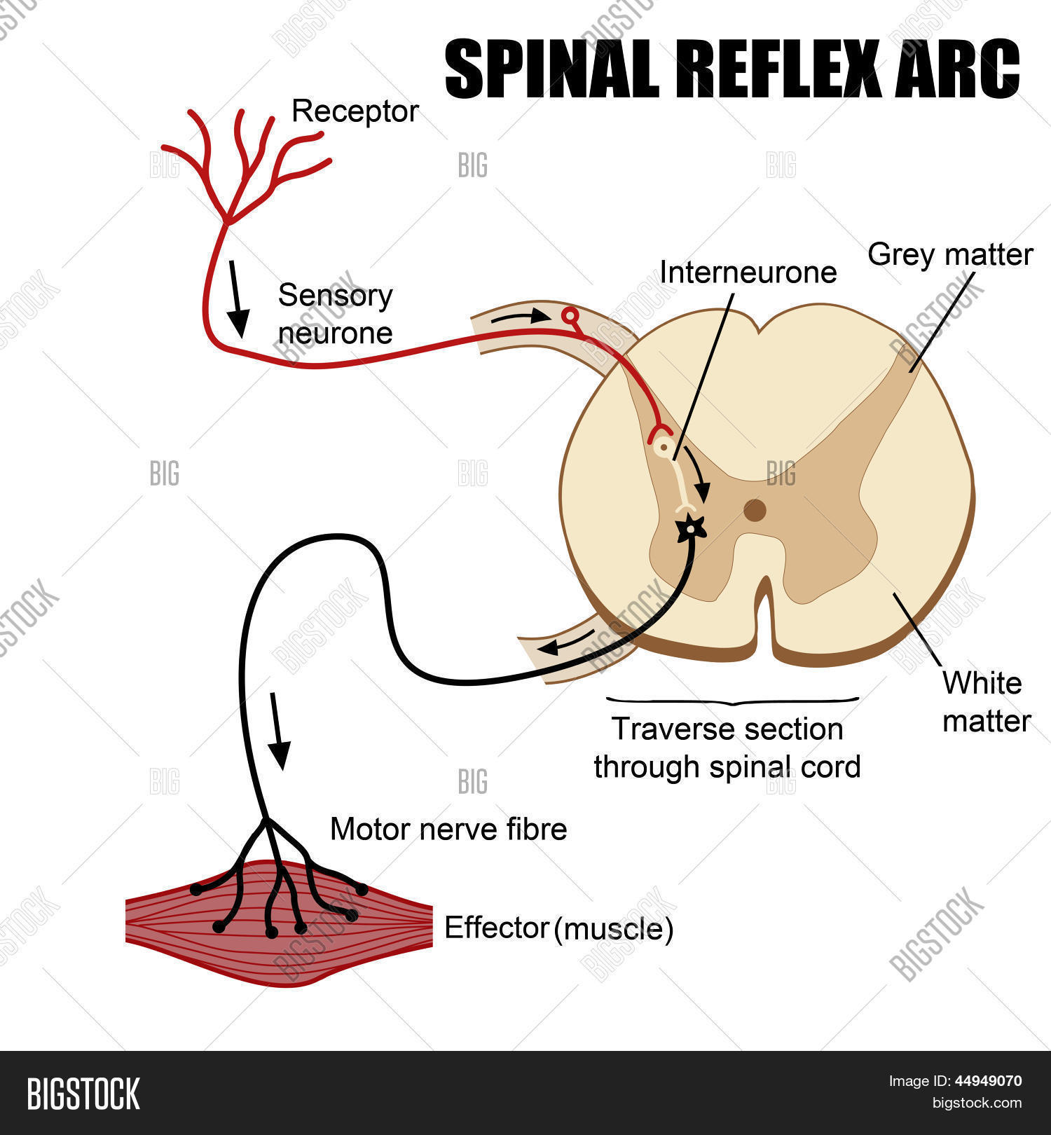 Spinal reflex diagram electrical work wiring diagram spinal reflex arc vector photo free trial bigstock rh bigstockphoto com spinal reflex arc diagram spine ccuart Choice Image
