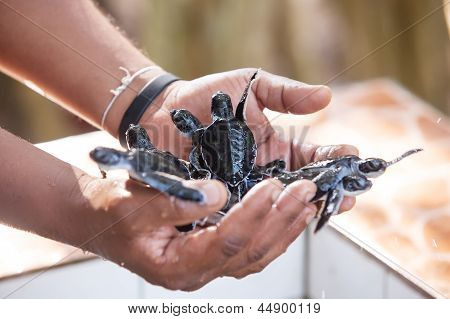 Newly Hatched Babies Turtle In Humans Hands At Sea Turtles Conservation Research Project In Bentota,