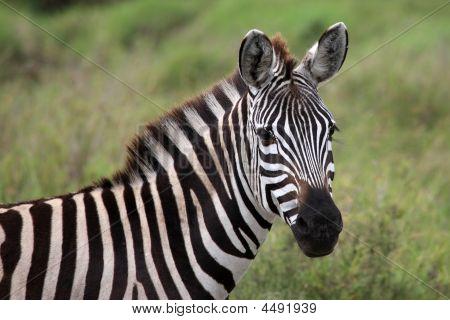 Zebra close up Serengeti Tansania