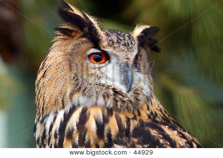 Oehoe, Almost Extinct Owl