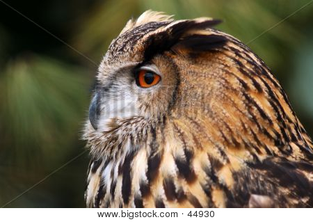 Oehoe,  An Almost Extinct Owl Species.