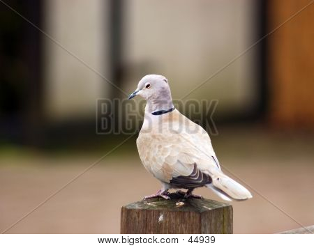 A Pigeon, Dove, Symbol Of Peace.